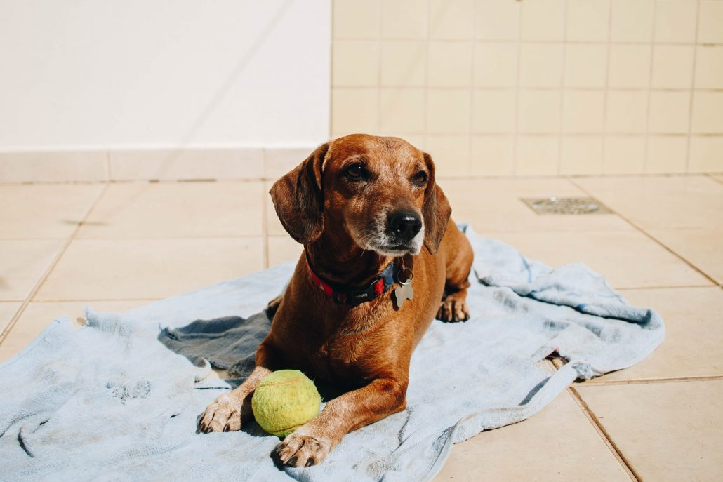 brown dog laying on a blanket with a ball