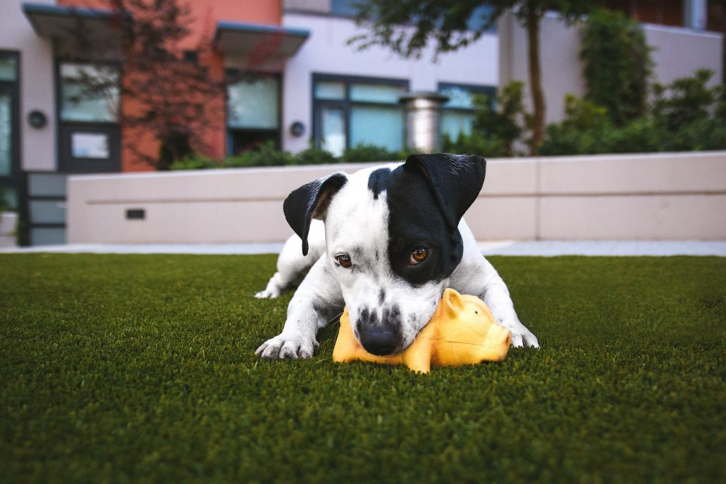 dog on a lawn chewing on a toy