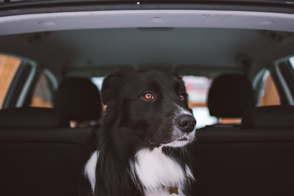 moving with dogs in the back of a car
